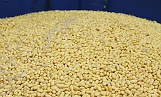 Soy beans from the San Diego Soy Dairy.