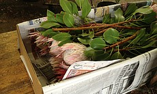 Proteas packed to ship.