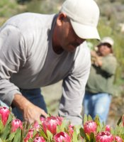 Rainbow Hill Protea picker at work.