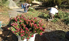 Pickers harvesting flowers at Rainbow Hill Prot...