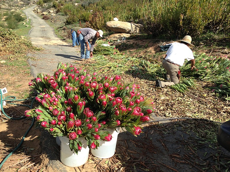 Pickers harvesting flowers at Rainbow Hill Protea Farm in Fallbrook, Calif.