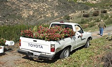 Truck loaded with flowers after harvest at Rainbow Hill Protea in Fallbrook, Calif.