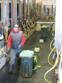 Marco, who didn't want to use his last name, works in the milking parlor cleaning udders, checking for infections, attaching the machines and shoveling manure.