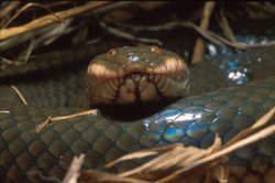 Plumbeous water snake, a rear-fanged venomous snake. In general, its bite is not considered dangerous to humans, and its venom is less studied.