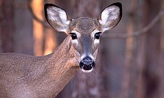 Close-up photo of a doe's face. Deer keep their distance and remain fully alert around humans.