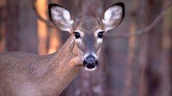 Close-up photo of a doe's face. Deer keep their distance and remain fully ale...