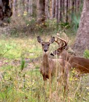A whitetail doe and buck.