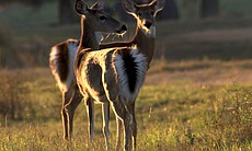 The tails of these whitetail deer are ready to go up, a signal that danger is near.