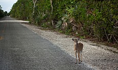 Key deer on side of the road.