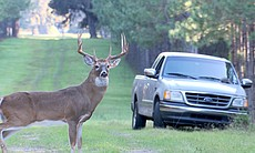 A large stag stops by a truck.