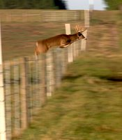 Deer can jump over an 8-foot obstacle. Sometimes from a running start they can clear a bit more than that.
