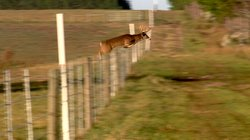 Deer can jump over an 8-foot obstacle. Sometimes from a running start they ca...