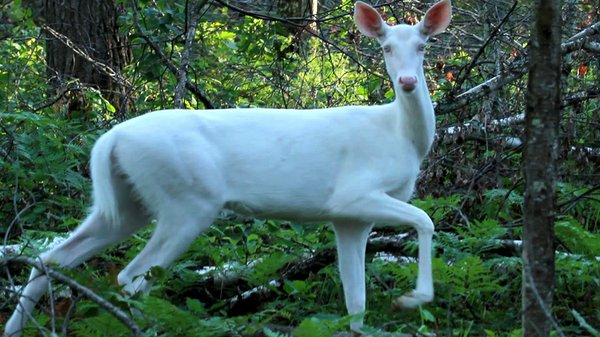The sighting of an albino deer is a rare and magical moment.