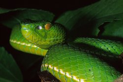 Bamboo pit vipers are widely distributed in Southeast Asia and are also found in urban areas. They are a common cause of snake bites resulting in bleeding problems.