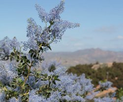 Ceanothus bloom in Elfin Forest (also known as Mountain Liiac).