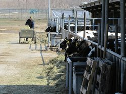 Netty Rosenow feeds cows on her dairy farm in western Wisconsin.