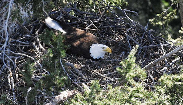 A bald eagle in its nest.