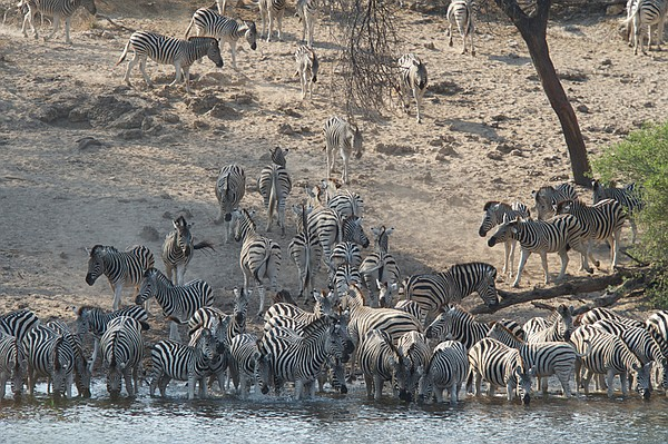 A herd of zebra file to drink from the Boteti River, Makgadikgadi Pans Nation...
