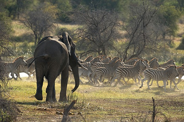 An elephant bull stampedes a herd of zebra along the Boteti River, Makgadikga...
