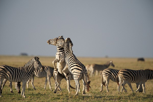 Two zebra stallions fight on an island in the Makgadikgadi Pans, Makgadikgadi...