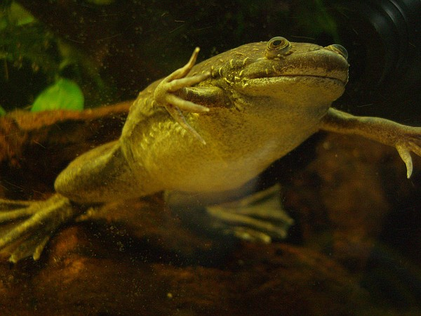 The African clawed frog, imported around the world in the...