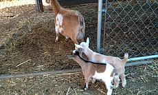 Goats at Stehly Farms in Valley Center.