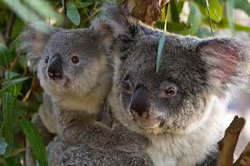 San Diego Zoo's new $7.4 million Australian Outback exhibit features 20 koala...