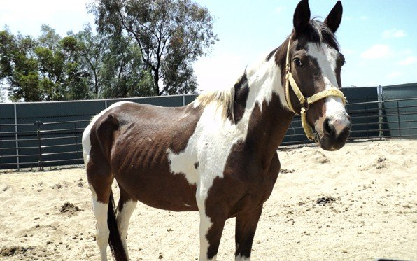 One of nine seized horses at the County Animal Services shelter in Bonita. Th...