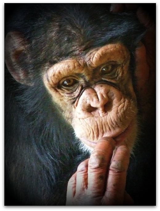 The NIH will keep 50 chimps in captivity for possible future research. Howeve...