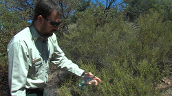 Stephen Fillmore, forest fuels officer with the Cleveland National Forest, collects samples of Chaparral in San Diego's East County community of Descanso to measure the moisture levels, June 27, 2013.