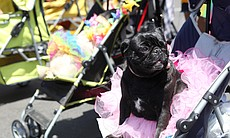 A costumed pug waits to take its place in the San Diego Pride Parade, July 13, 2013.