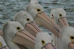 Group of pelicans.