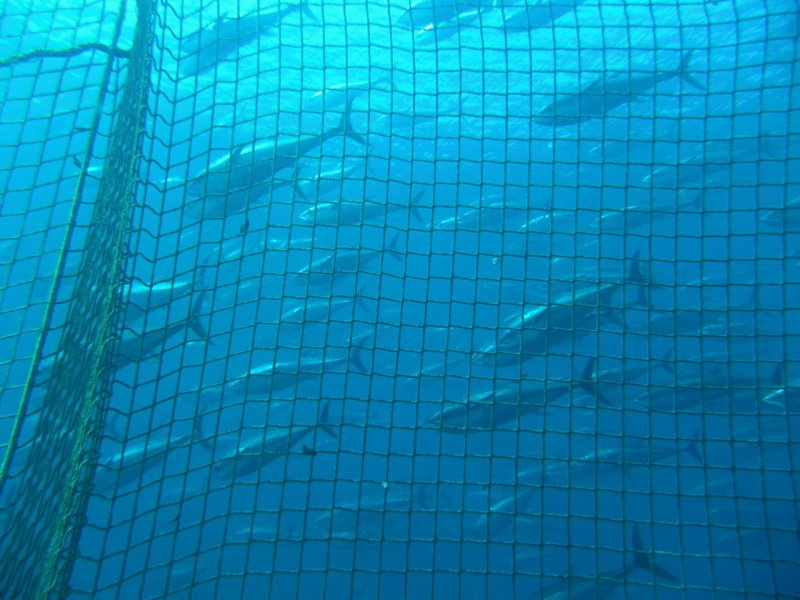 Bluefin tuna tends to have higher levels of mercury than yellowfin tuna. It a...
