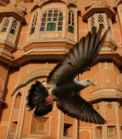 Rock Dove, Palace of the Winds, Jaipur, India.