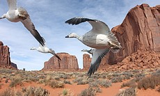 Snow geese flying through Monument Valley, USA.