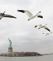 Snow geese flying over Hudson River, New York, background Statue of Liberty, USA.