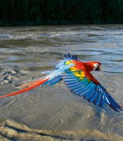 Scarlet Macaw in flight, Manu River, Peru.