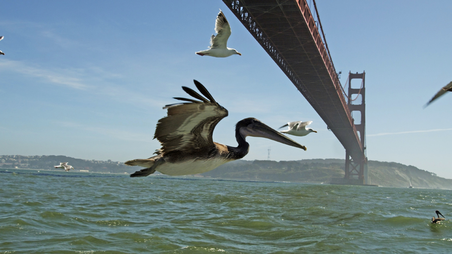 Scientist Decode The Physics Of Wave Surfing Pelicans