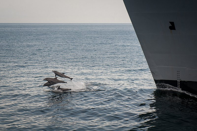 A pod of dolphins swims in front of the USNS Alan Shepard.