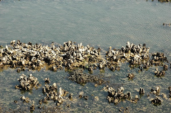 Pacific Oyster Reef