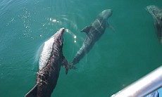 Dolphins swim along side the boat, Bahia de los Angeles. You can see three of...