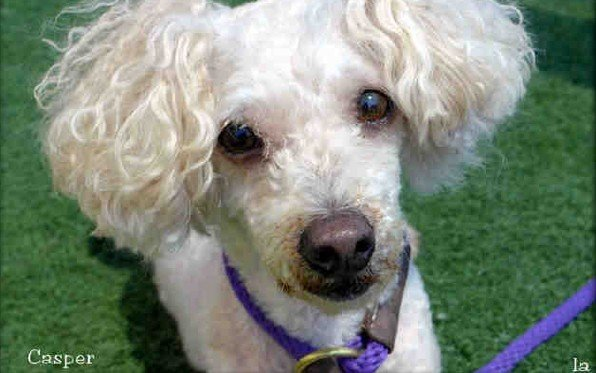 Casper, a 7-year-old miniature poodle was 