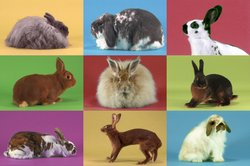 Collage of rabbit breeds.