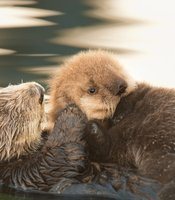 A sea otter mom grooms her pup in Monterey Bay, Calif.