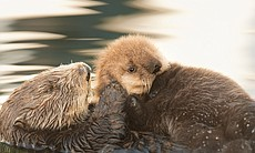 A sea otter mom grooms her pup in Monterey Bay,... (30944)