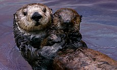 Toola the southern sea otter (Enhydra lutris ne... (30945)