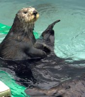 Otter 501 and her surrogate mom, Toola, at play in the tank 501 was raised in. Monterey, Calif.