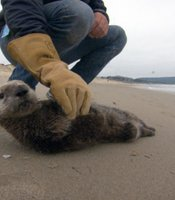 A stranded southern sea otter pup is being assessed by the Monterey Bay Aquarium's Karl Mayer. This pup was brought in for further assessment and possible rehabilitation and release back into the wild. Monterey, Calif.