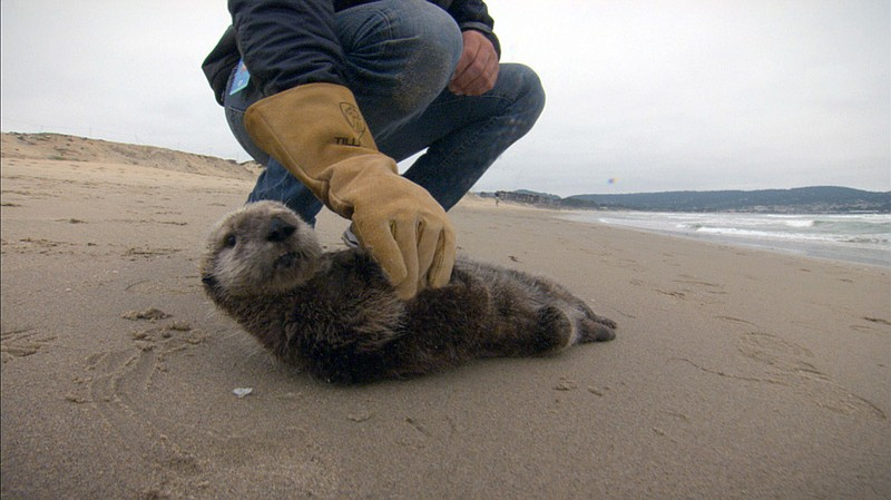 A stranded southern sea otter pup is being asse... ()