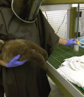 "Otter 501 is ready to be groomed by Monterey Bay Aquarium's Animal Care Coordinator for their Sea Otter Research and Conservation (SORAC) program, Karl Mayer. Karl is wearing the ""Darth Vader"" disguise used to isolate the human form from the otters that will be released into the wild. Monterey, Calif."